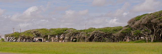 Windswept Live Oaks 2